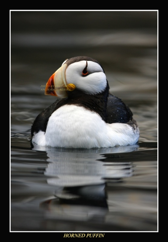 Horned Puffin Photo Horns